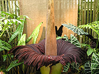 Titan arum, corpse flower (Aroid Family)