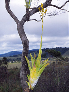 brom-catopsis-berteroniana-7-13-sept-26-240